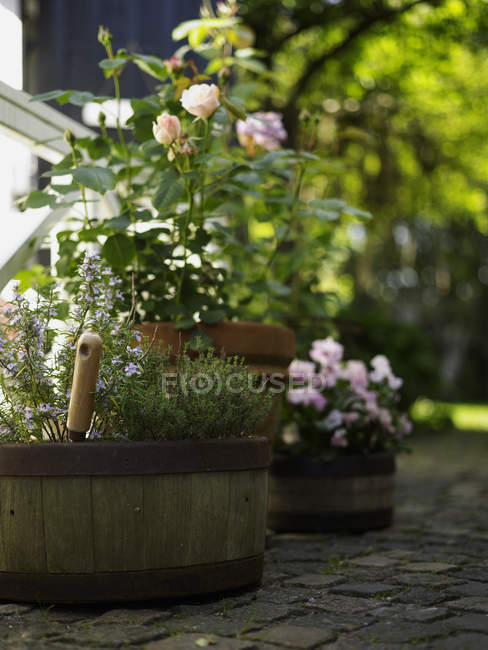 Rustic barrel flower pots and rose plants on garden terrace — Stock Photo
