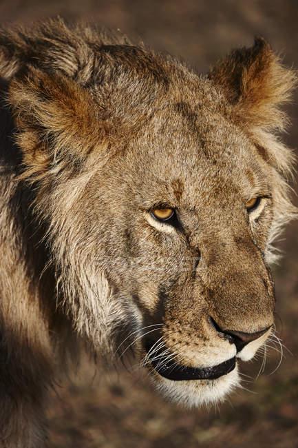 Крупным планом оповещения львица, Масаи Мара, Кения, Африка — стоковое фото
