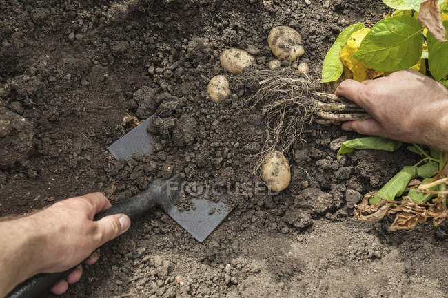 Cropped image of man digging up potatoes in garden — Stock Photo