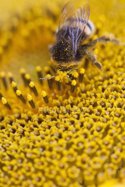 Bee on sunflower, macro close up shot — Stock Photo