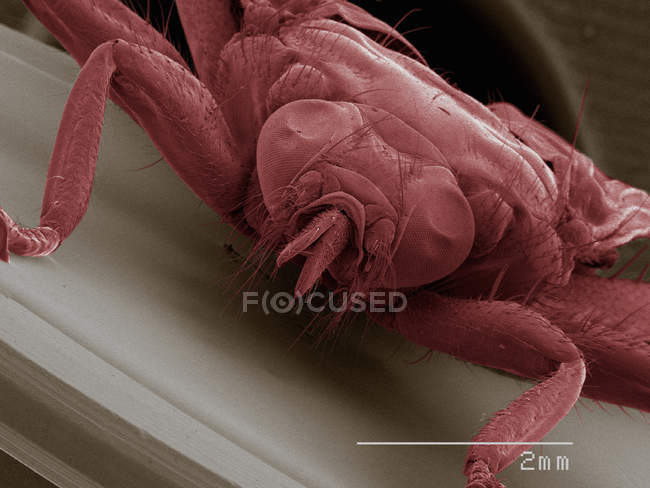 Coloured scanning electron micrograph of louse fly, front view — Stock Photo