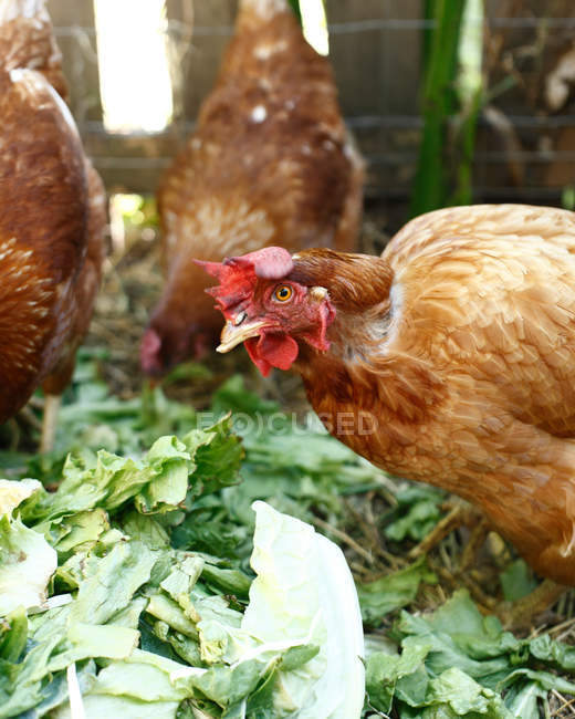 Close-up view of three hens on organic farm — Stock Photo