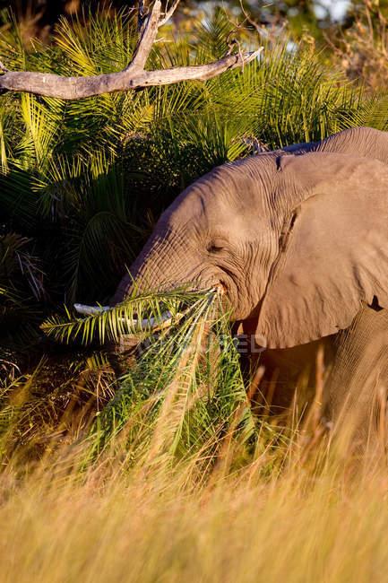 Elefant frisst Gras — Stockfoto