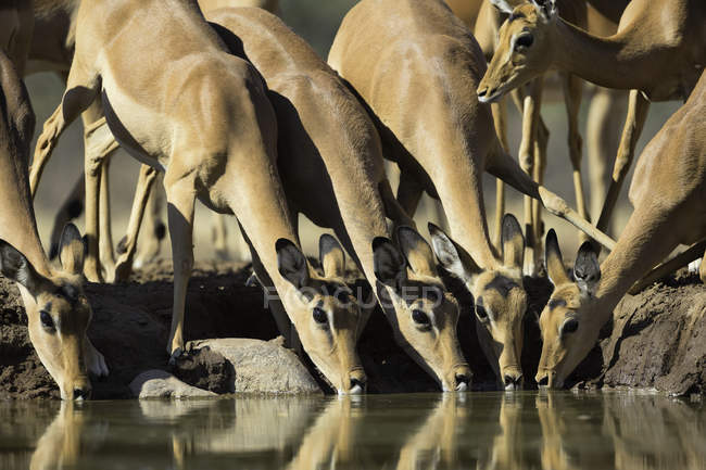 Impala herd drinking at watering hole in bright sunlight — Stock Photo