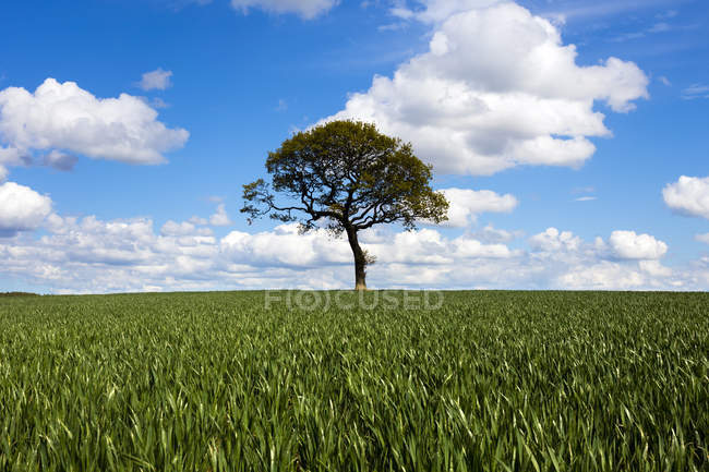 Tree on blue sky horizon of green crop field — Stock Photo