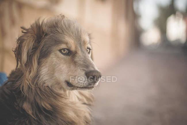 Chiuda sul colpo del cane marrone randagio che osserva via — Foto stock