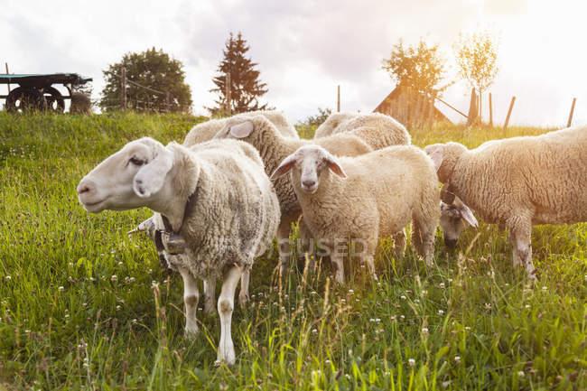 Kleine Schafherde weidet im Sonnenlicht auf der grünen Wiese — Stockfoto