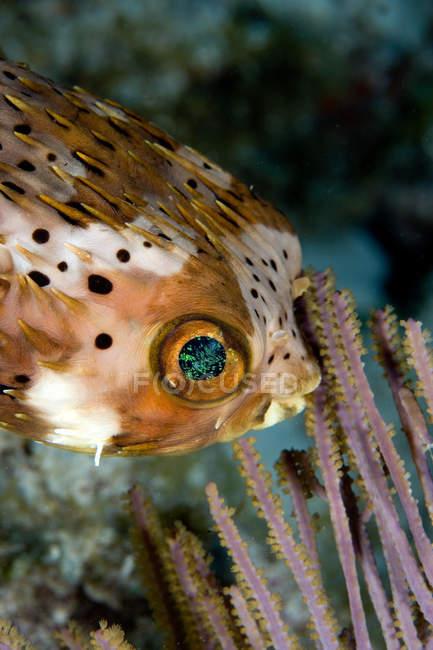 Вид крупным планом на рыбу-шар — стоковое фото