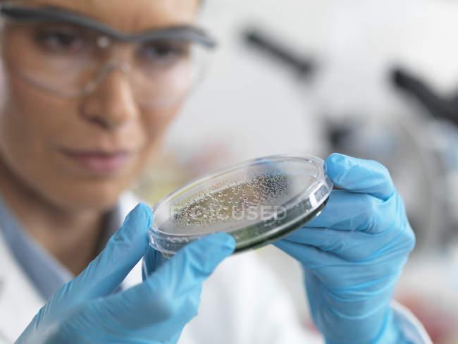 Científica examinando microorganismos en placas de Petri - foto de stock