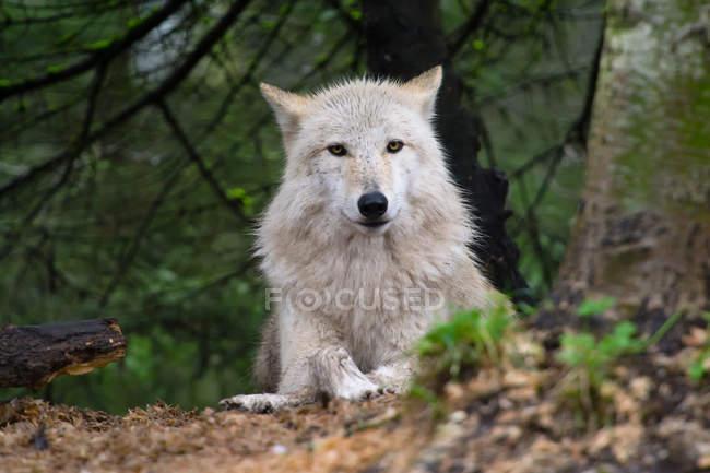 Серый волк лежал на земле — стоковое фото