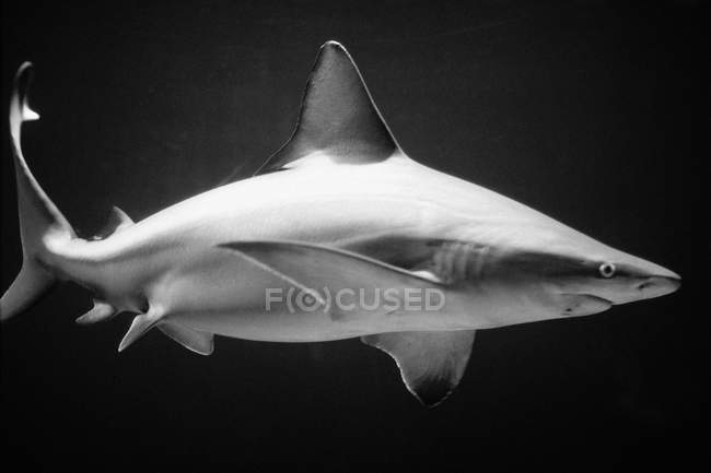Shark floating in water — Stock Photo