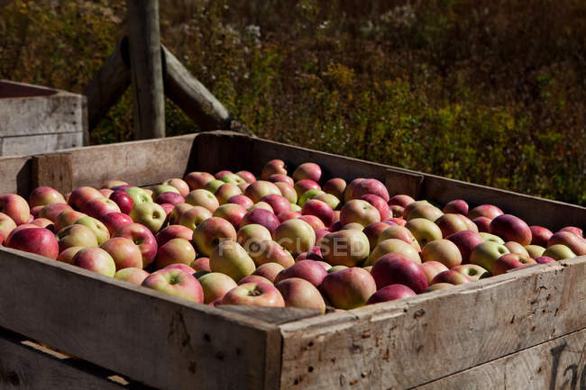 Fresh picked apples in wooden box — Stock Photo
