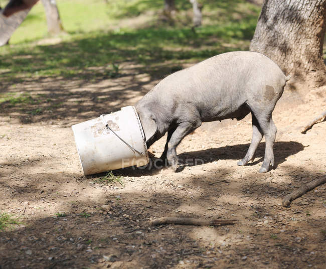 Iberico pig eating with head in bucket — Stock Photo