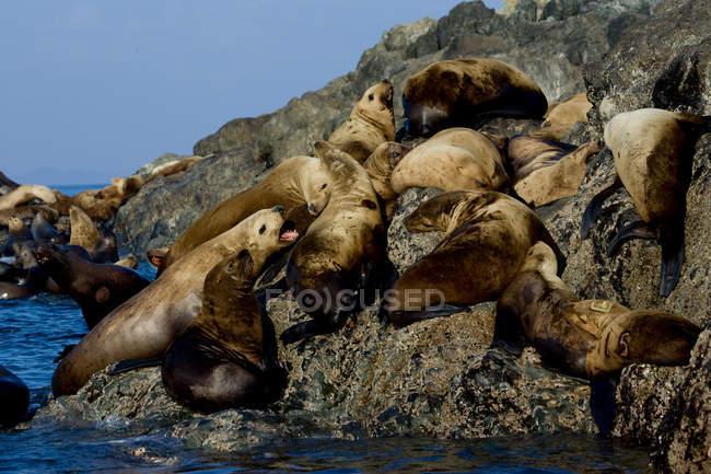Група Каліфорнії морські леви на скелястий берег — стокове фото