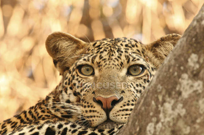 Close up shot of female leopard head — Stock Photo