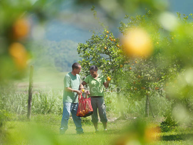 Male And Female Workers Picking Oranges — Stock Photo