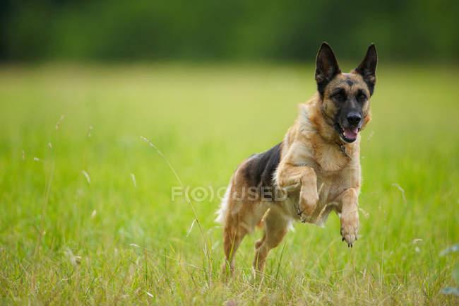 Hund springt hoch grüne Gras — Stockfoto