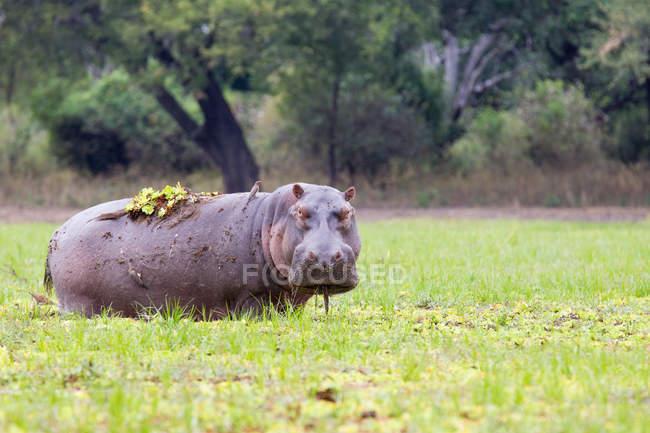 Ippopotamo che pasce nel south luangwa national park, zambia — Foto stock