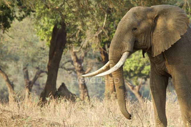 African elephant or Loxodonta africana walking at dawn, Mana Pools National Park, Zimbabwe — Stock Photo