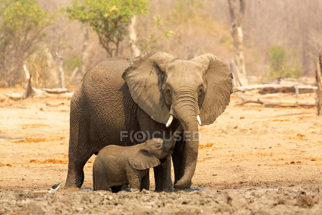 Слон с теленком при ярком солнечном свете — стоковое фото