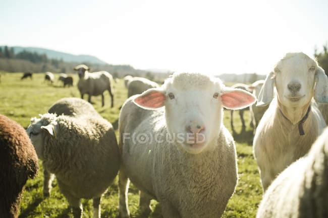 Schafe weiden auf der grünen Wiese in der Sonne — Stockfoto