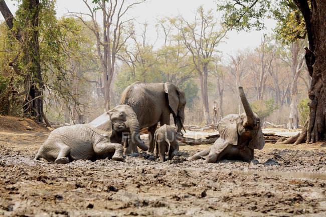 Éléphants d'Afrique se baignant dans la boue, Piscines de Mana, Zimbabwe — Photo de stock