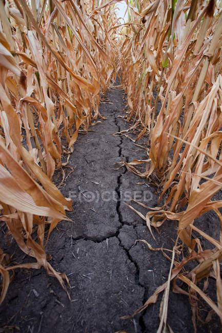 Crepa sul terreno del campo di mais secco — Foto stock