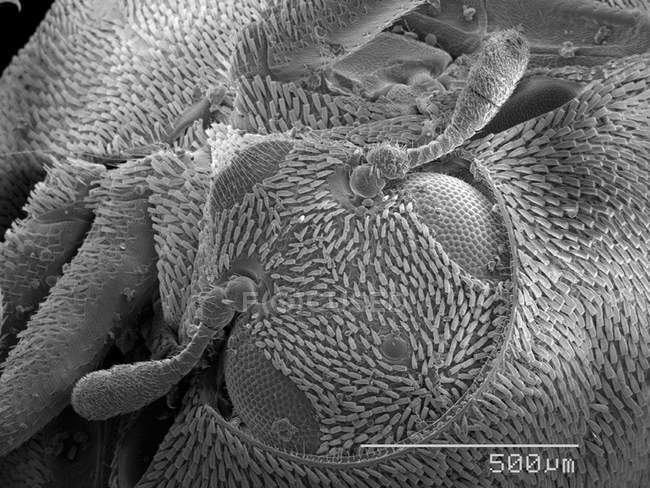 Scanning electron micrograph of bettle head — Stock Photo