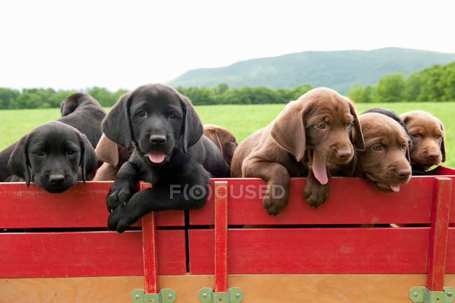 Labrador Retriever Welpen im Wagen — Stockfoto