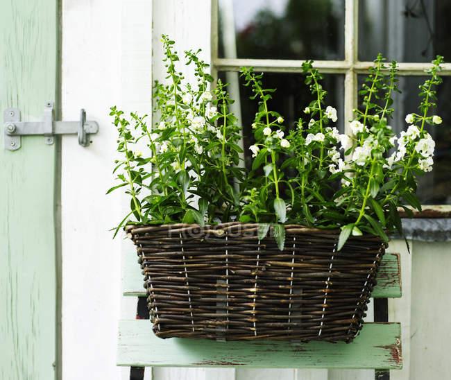 Planta de jardín con flores blancas en canasta de mimbre en cobertizo - foto de stock