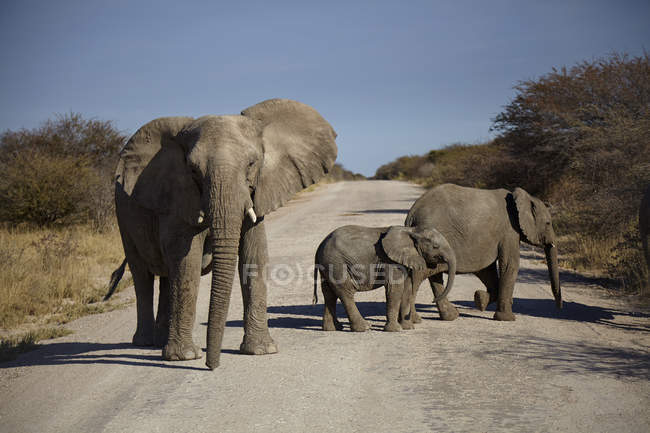 Adulto e dois jovens elefantes cruzando a estrada rural — Fotografia de Stock