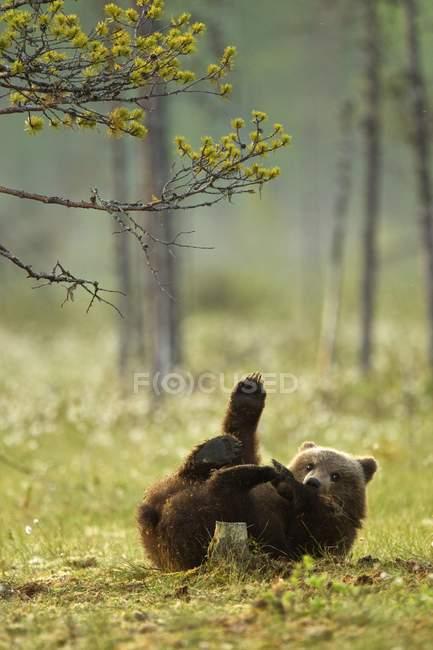 Cucciolo di orso bruno che gioca nella foresta di Taiga, Finlandia — Foto stock