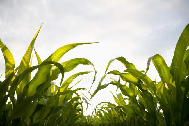 Jeunes plants de maïs verdure sous ciel nuageux bleu — Photo de stock