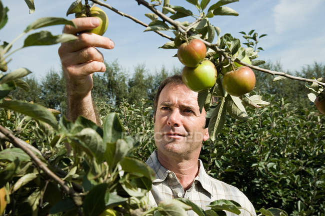Portrait of man picking fresh apples — Stock Photo