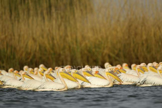 Great White Pelicans on water surface — Stock Photo