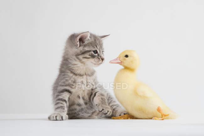Kätzchen und Entlein vor der Haustür — Stockfoto
