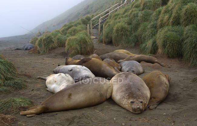 Sigilli elefanti sulla spiaggia — Foto stock