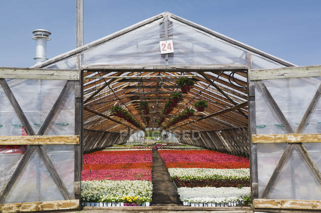Opened doors on a wooden framed commercial greenhouse with white, pink and red flowering Begonia plants being grown in containers for sale to distributors and the public in spring, Quebec, Canada — Stock Photo