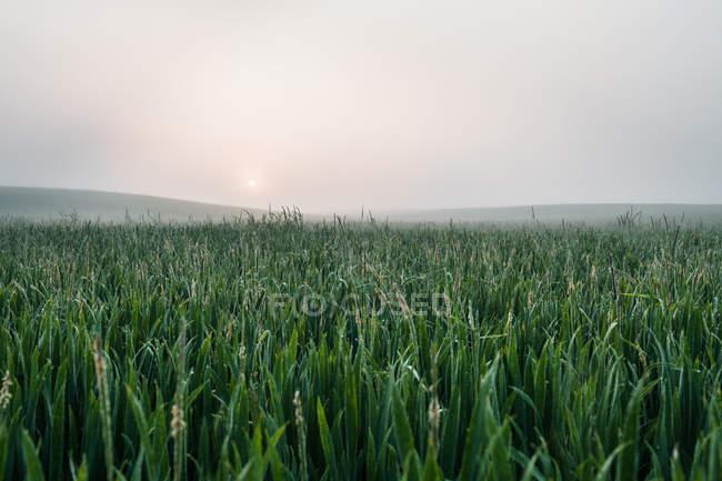 Живописный вид туманный поля высокой травы — стоковое фото