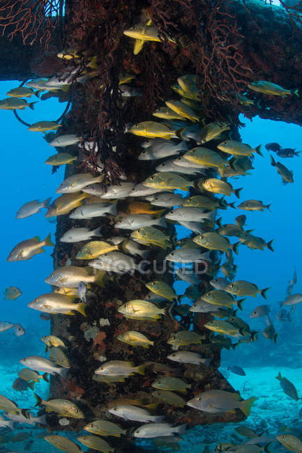 School of gray snappers in blue water — Stock Photo