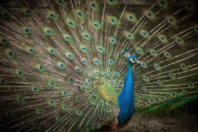 Fanned мужской Павлин перьями — стоковое фото