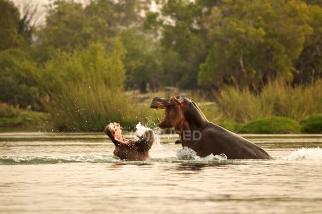 Ippopotami arrabbiati che combattono in acqua — Foto stock