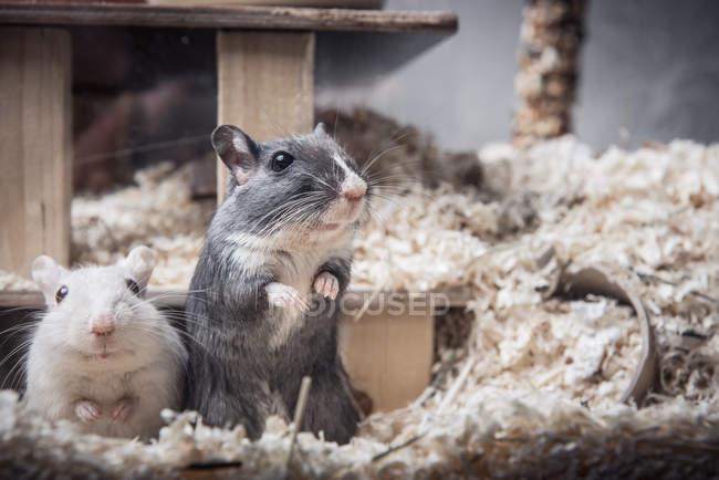Gros coup de gerbilles blanches et grises — Photo de stock