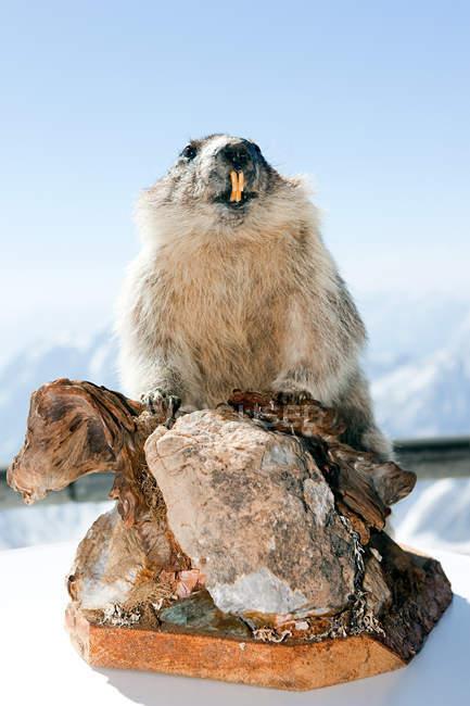 Мягкие сурок на гору Цугшпитце — стоковое фото