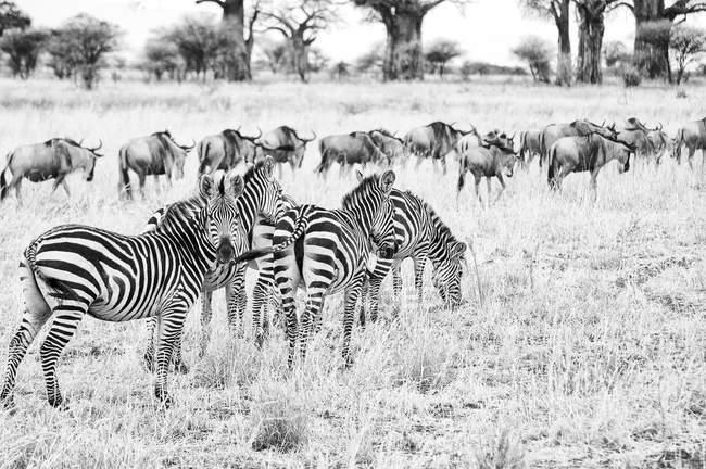Чорно-біле фото зебр на полі в Серенгеті, Танзанія, Африка — стокове фото