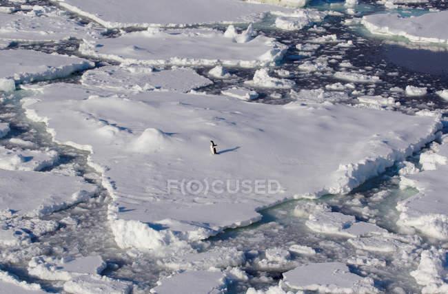 Pinguino su un lastrone di ghiaccio — Foto stock