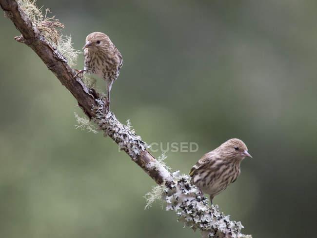 Two Pine Siskins — Stock Photo