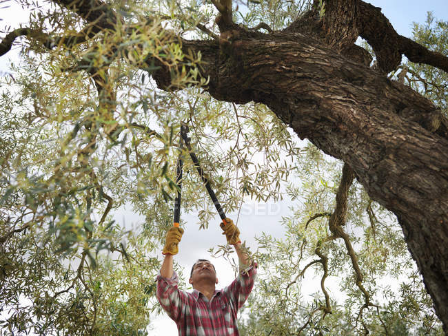 Low angle view of Man pruning olive tree — Stock Photo