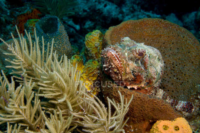 Scorpionfish hiding in sponge under water — Stock Photo