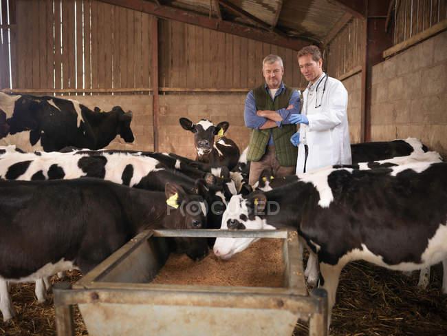 Veterinários e agricultores que inspeccionam vitelos alimentados a partir de bezerros em galpão de exploração — Fotografia de Stock
